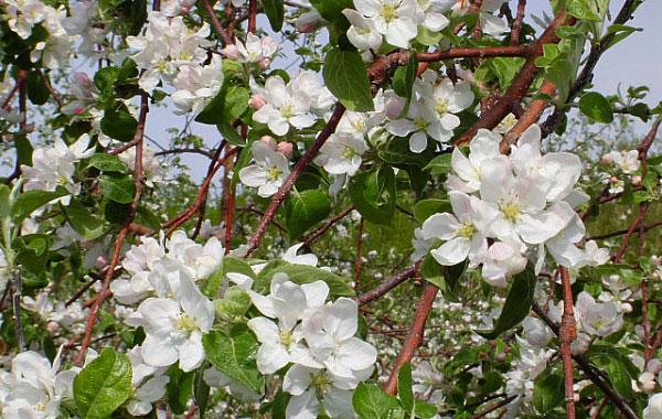 Ces pommiers qu 39 on aime tant jardin callunes - Quand tailler un pommier ...