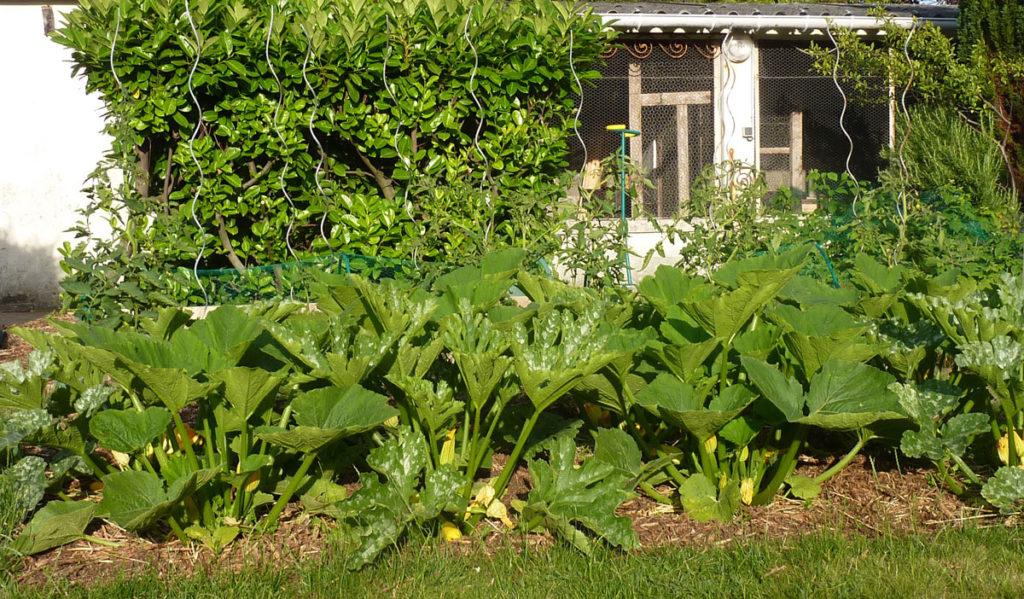 jardin-bio-courgettes