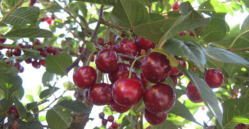Quel arbre fruitier pour un entretien facile ? | jardin callunes